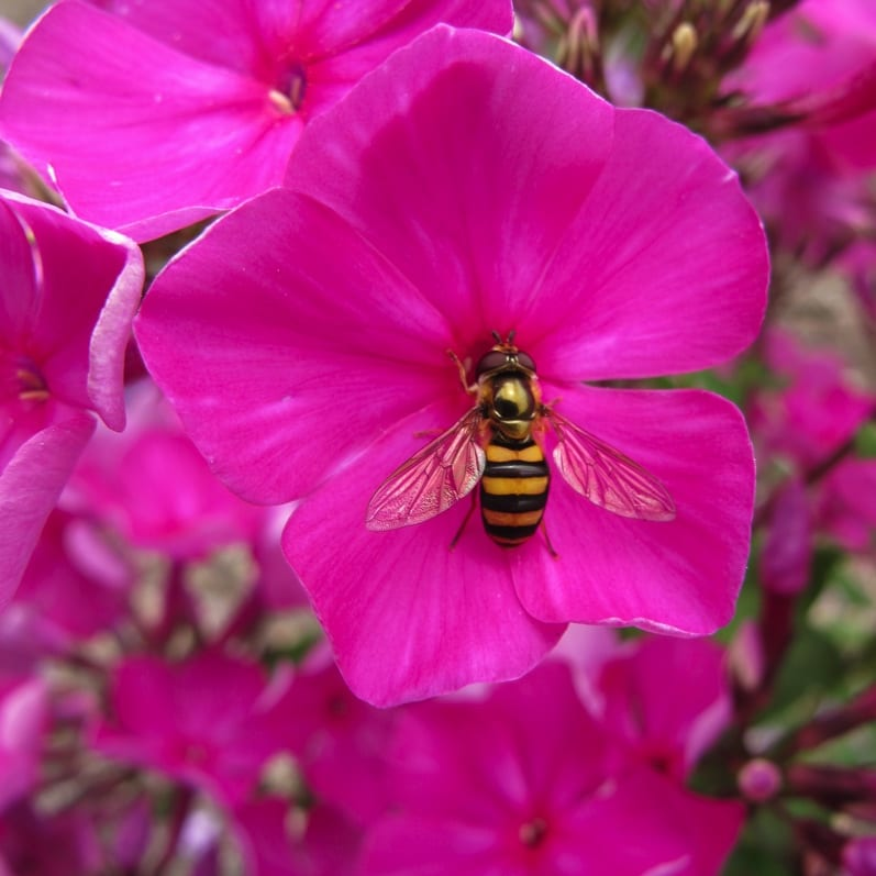 Sryphid fly pollinates Phlox paniculata 'Purple Rain'. Photo by Keith Nevison.