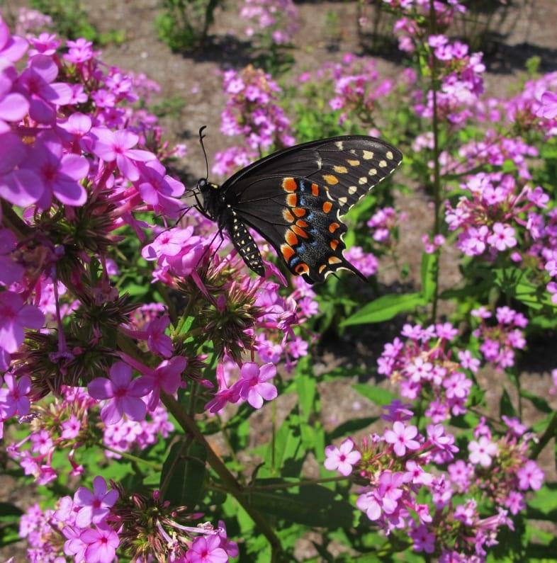 Female swallowtail butterfly (dark morph) on 'Jeana'. Photo by Keith Nevison .