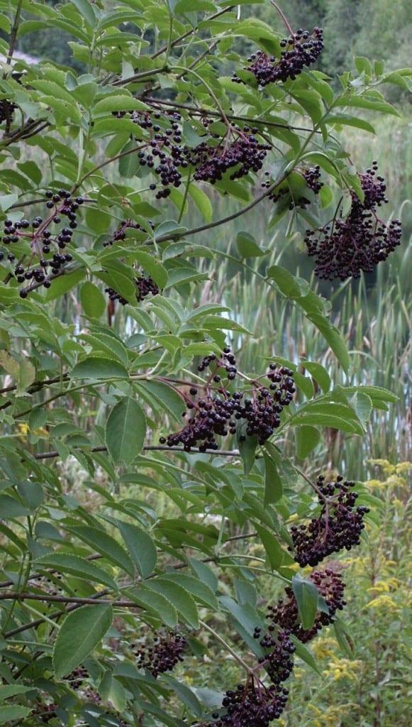 elderberry fruits berries