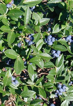 Often recommended as a replacement for burning bush, highbush blueberry does not perform well in the landscape.