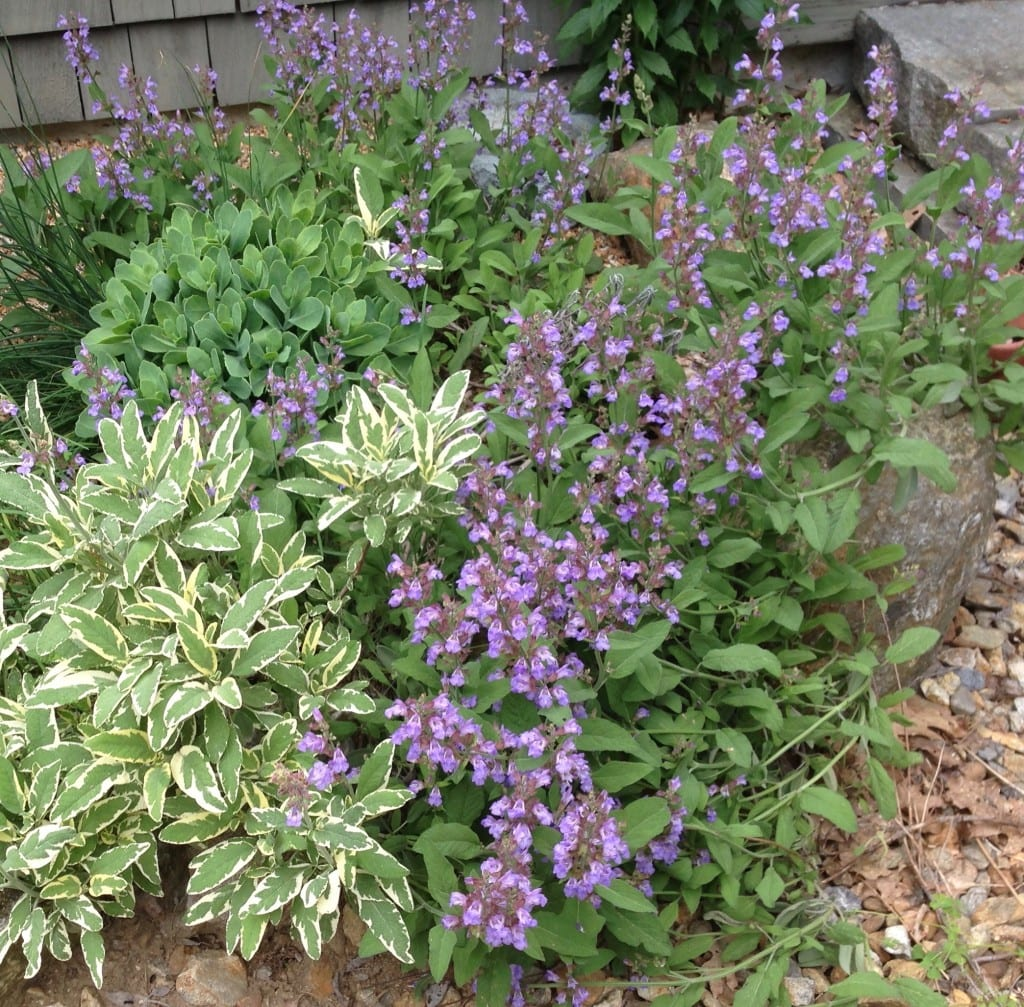 Common sage (Salvia officinalis), the traditional herb for flavoring poultry stuffing, can be grown as a low shrub in places many other edibles might fail.