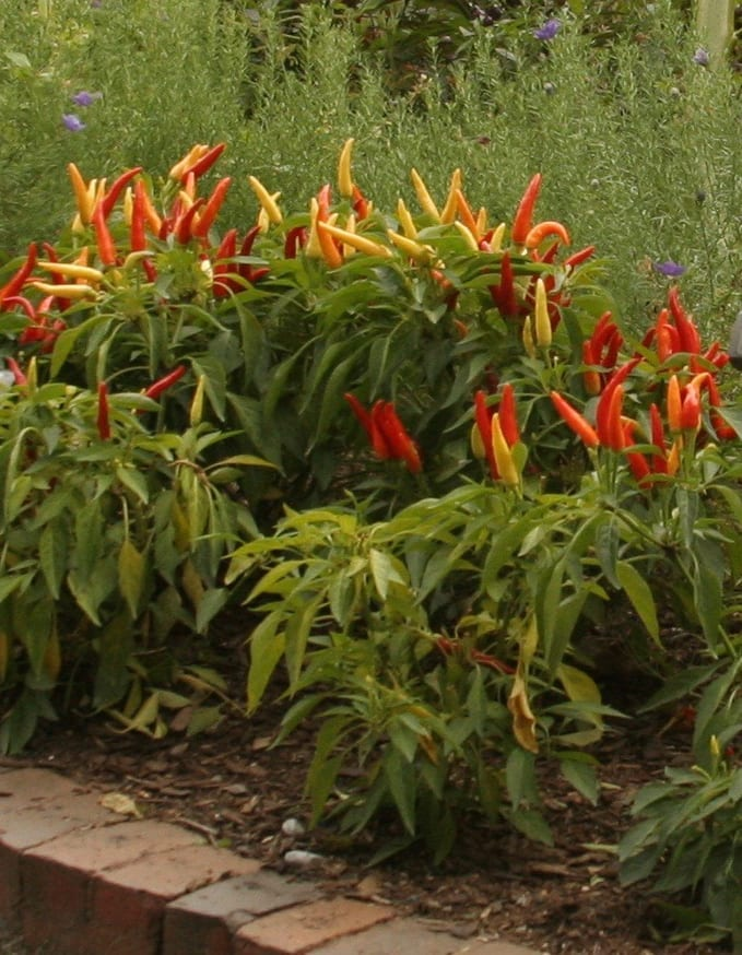 Ornamental peppers work well in pots or bed with good soil and plenty of water.