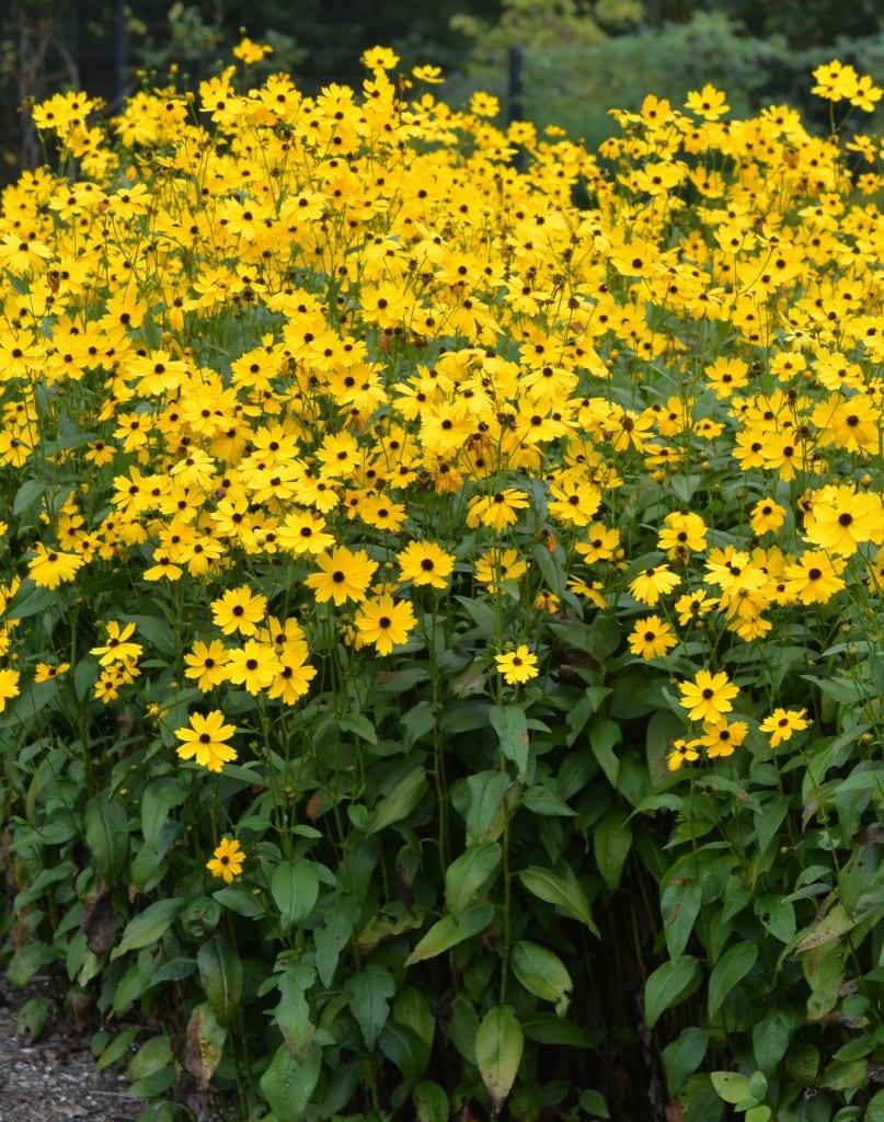 C. palustris 'Summer Sunshine'