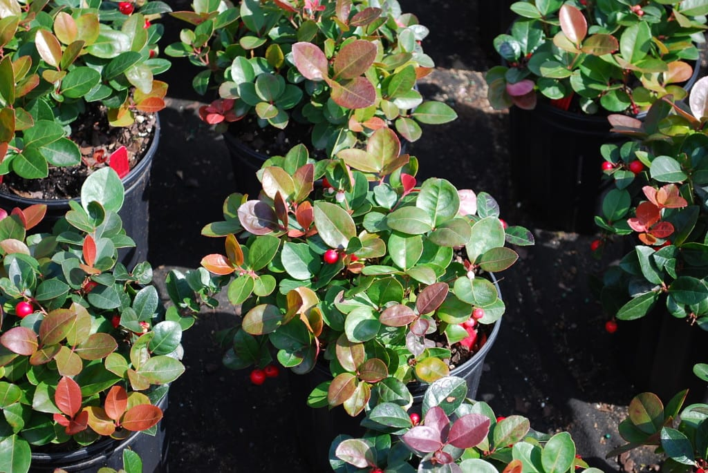 GAULTHERIA PROCUMBENS Wintergreen