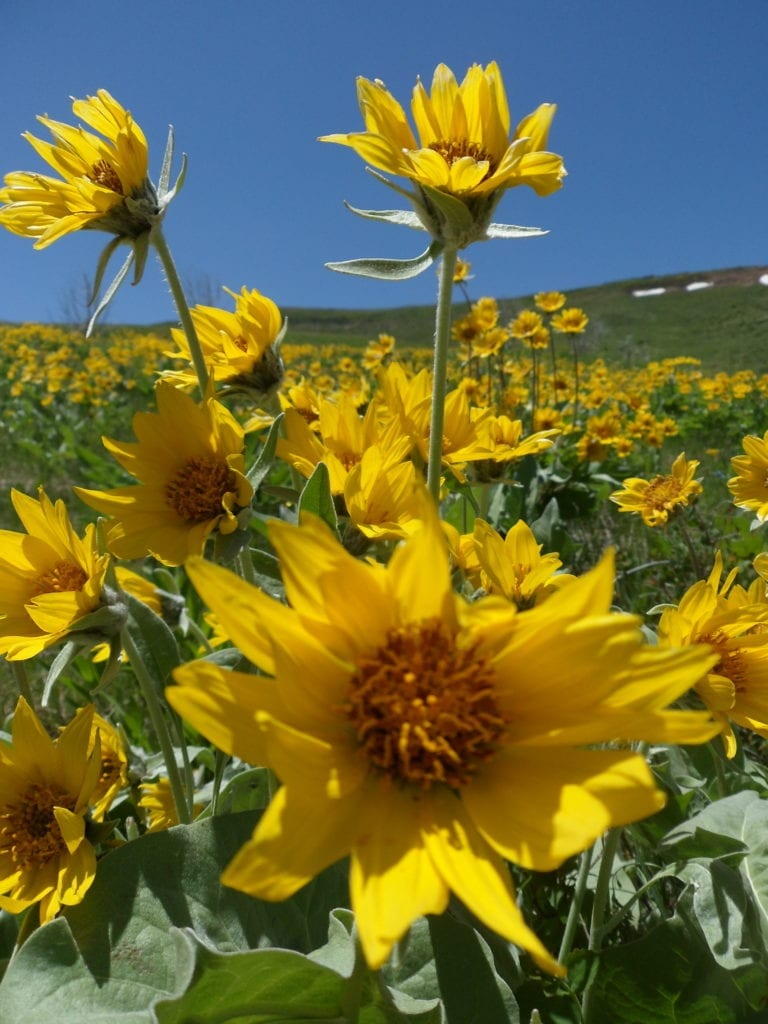 The arrowleaf balsamroot (Balsamorhiza sagittata), is an excellent species for pollinators and other wildlife in the Great Basin. Photo: BLM WY040, Seeds of Success