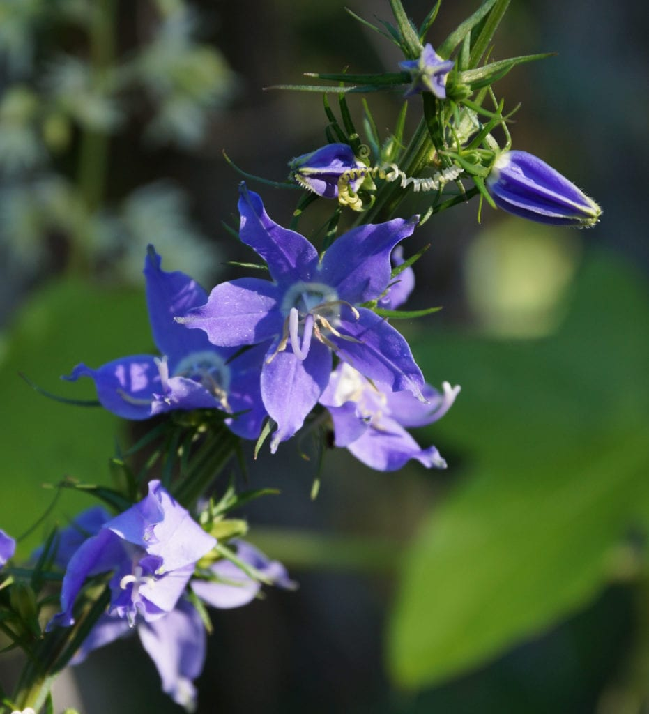 Tall bellflower ()