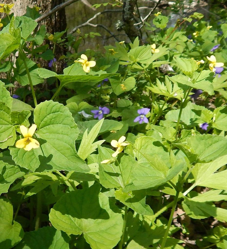 Violets (Viola odorata)