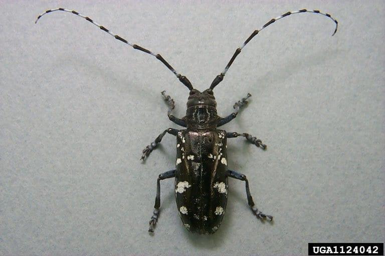 Figure 5. Asian longhorn beetle.