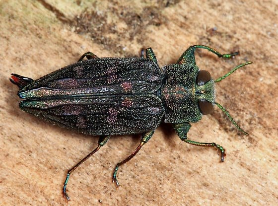 the emerald ash borer  information about the ash tree killer and other  u0026quot boring u0026quot  beetles