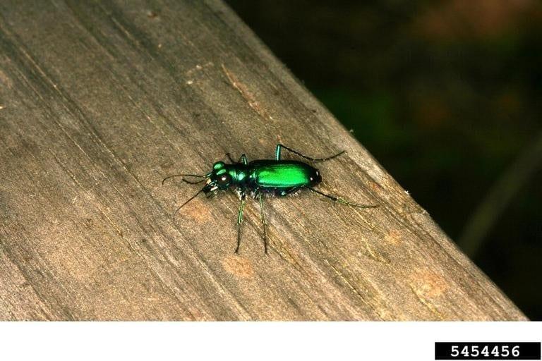 Figure 12. Tiger beetle