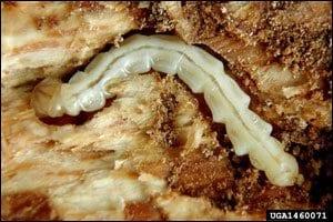 Figure 15. EAB larvae.