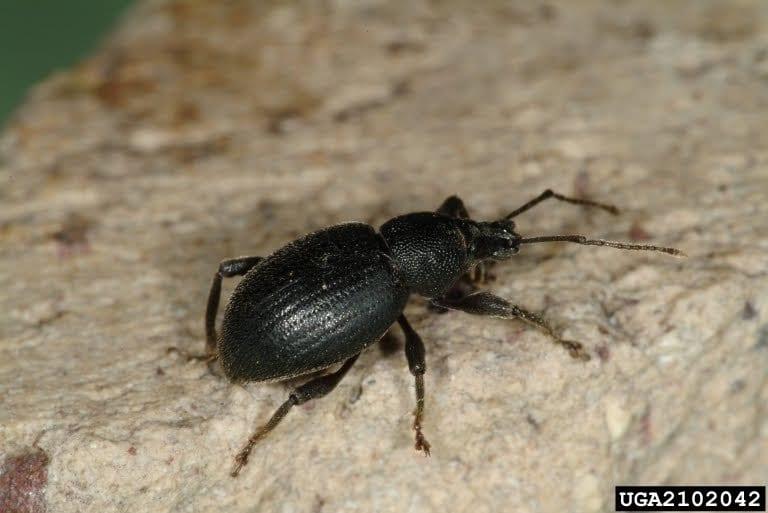 The black vine weevil Otiorhynchus sulcatus is a familiar beetle