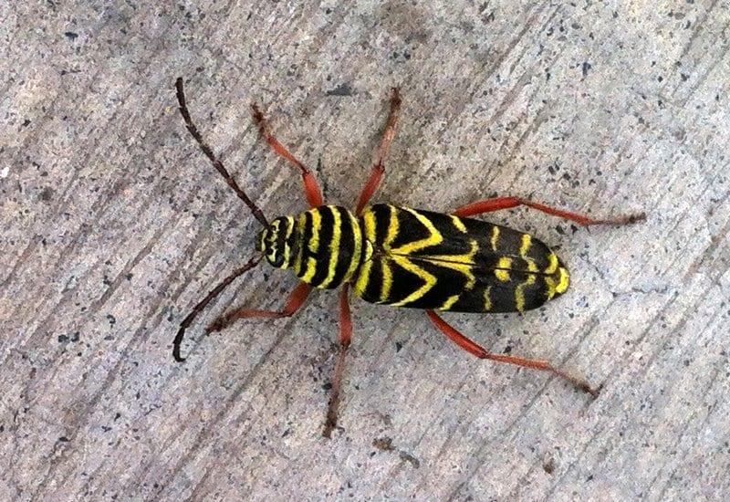 Figure 10. Locust borer
