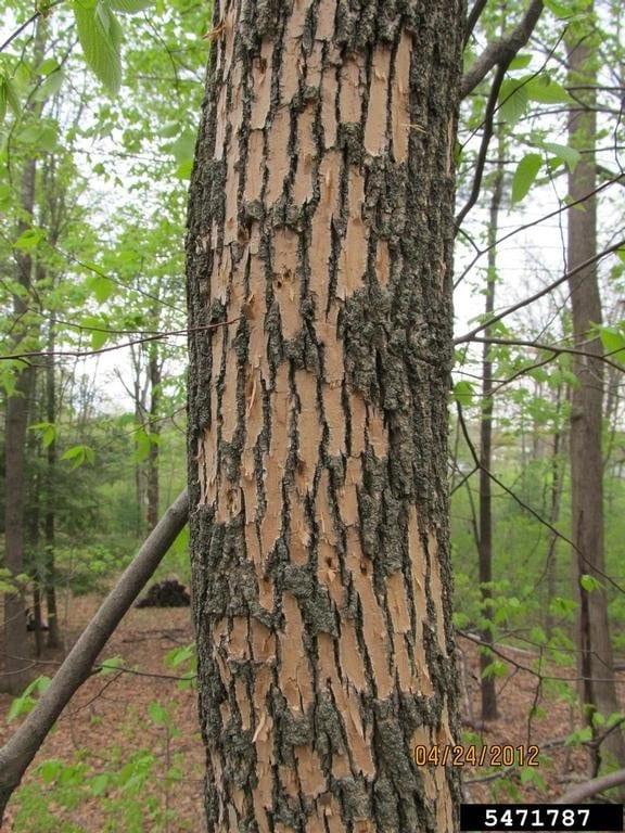 ELA EAb article. Fig. 16. Blonding damage done by woodpecker feeding.5471787
