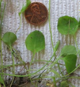 Mystery Vine - Leaf Characteristics