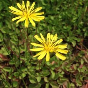 Mystery Weed - Matting Groundcover - Looks Invasive