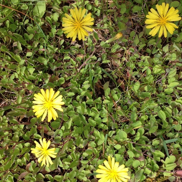 Mystery plant identification ecological landscape alliance mystery weed matting groundcover yellow flowers looks invasive general plant characteristics mightylinksfo