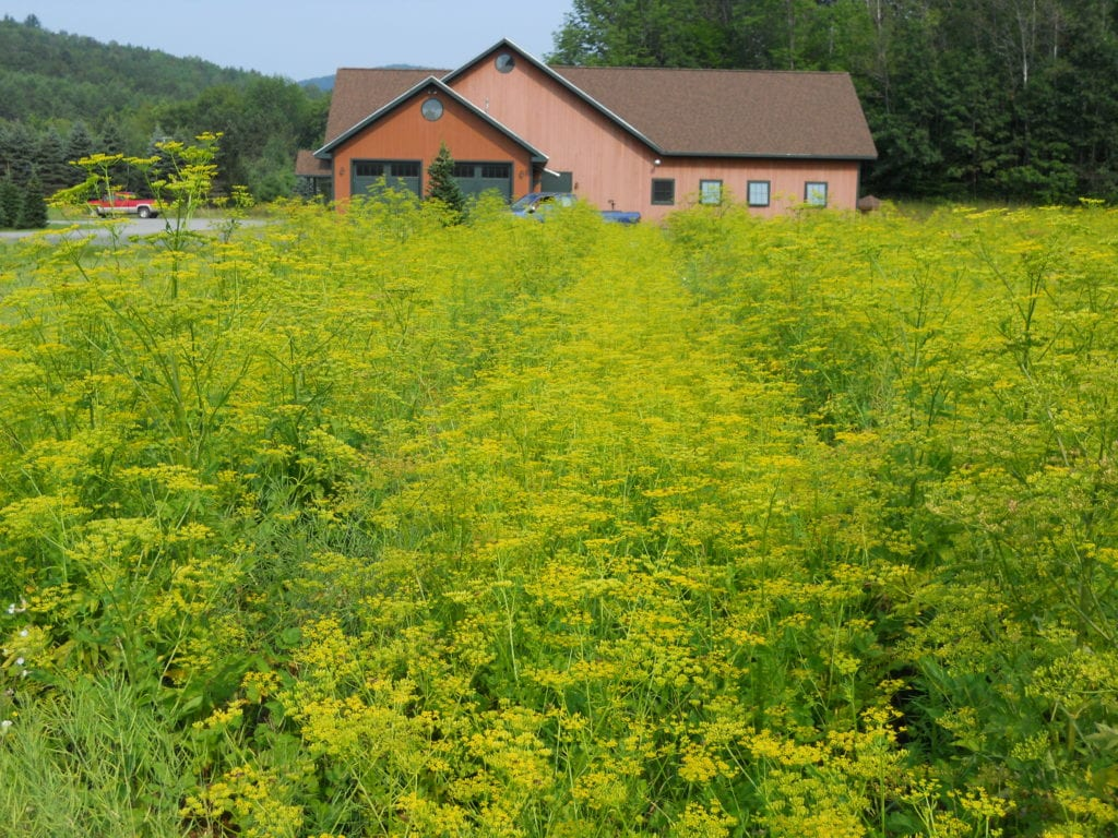 At a tree farm in central Vermont, thousands of noxious wild parsnip dwarf the smaller Christmas trees.