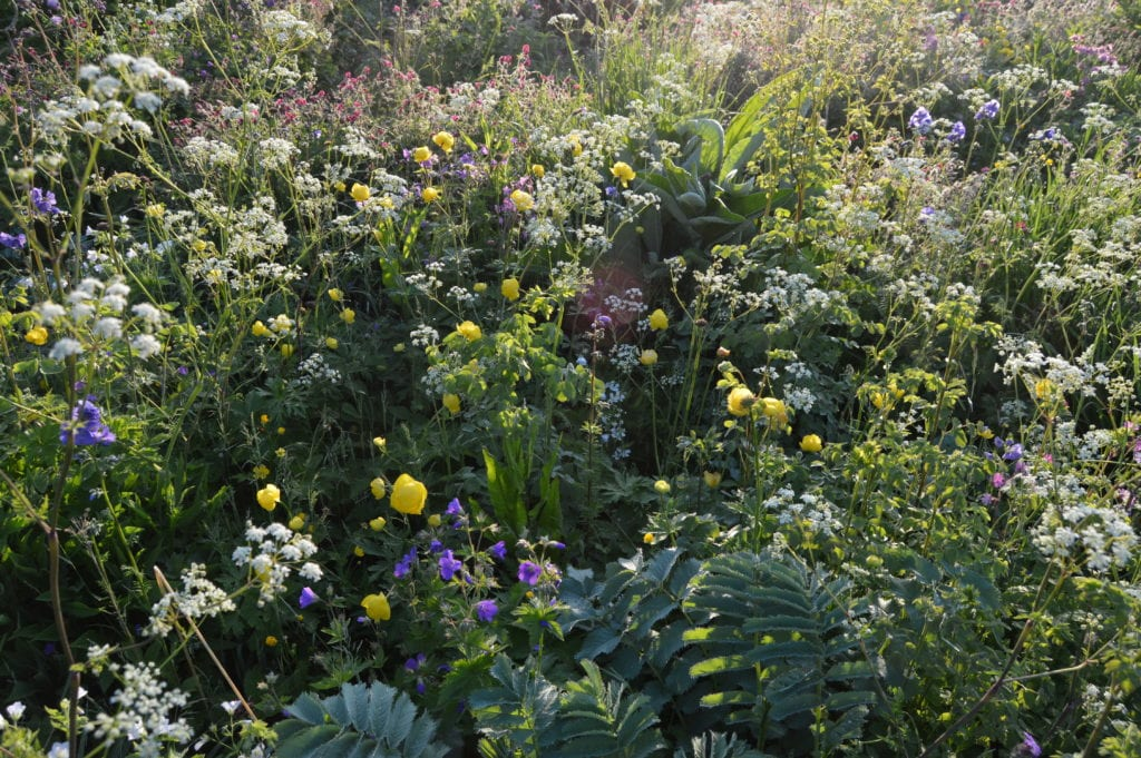 This photo of my garden at home in western England in May this year, we have several clumps of Trollius europaeus (yellow, globular flowers), which forms tight, only very slowly expanding long-lived clumps. Towards the rear are several groups of Geranium x monacense, with dark red flowers; these form more strongly expanding phalanx clumps. The blue flowers are Polemonium caeruleum, which forms tight non-expanding clumps, which are probably relatively short-lived – it often seeds well however. In the foreground are the silver-grey leaves of Sanguisorba armena which is a classic guerrilla spreader, with underground runners emerging a foot or so away from previous positions. Throughout are the white flowers of Anthriscus sylvestris, a biennial or short-lived perennial which has to seed to survive; it germinates and grows in the gaps between every-thing else.