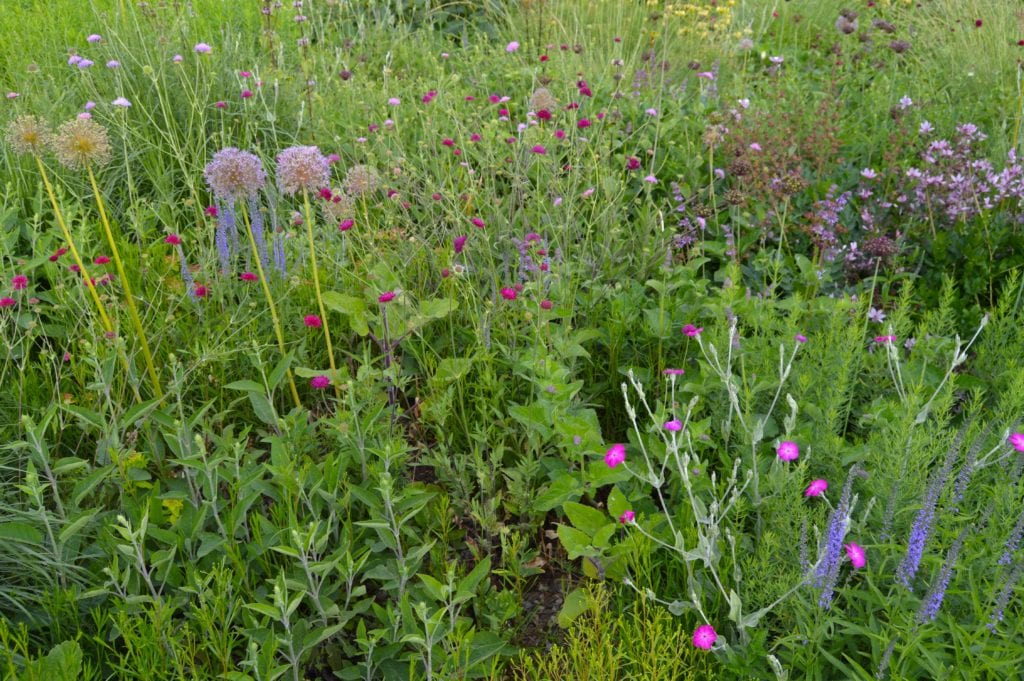 On dry or less fertile soils, there is reduced competition between species, so intermingling is easier to achieve. Here, at the Hermannshof Garden, in central Germany, a planting designed for a calcareous dry soil achieves a balance between a wide variety of species, some, e.g. Veronica longifolia (blue spike, right foreground) are long-lived clump formers, whilst others are short-lived species which seed around in the gaps between other plants, e.g. Knautia macedonica (crimson heads) and Lychnis coronaria (pink, foreground). There are around 15 species in this mix.