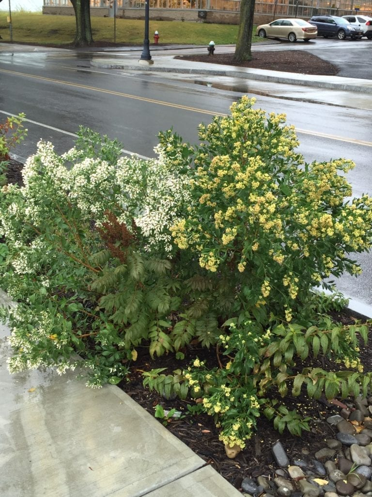 Woody plant stormwater retention planting along Tower Road at Cornell University (male and female Baccharis halimifolia and Sorbaria sorbiifolia 'Senn' pictured)