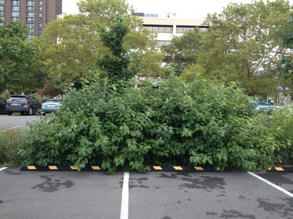 Cornus sericea mass performs well in a stormwater planting located in a Syracuse, NY parking lot.