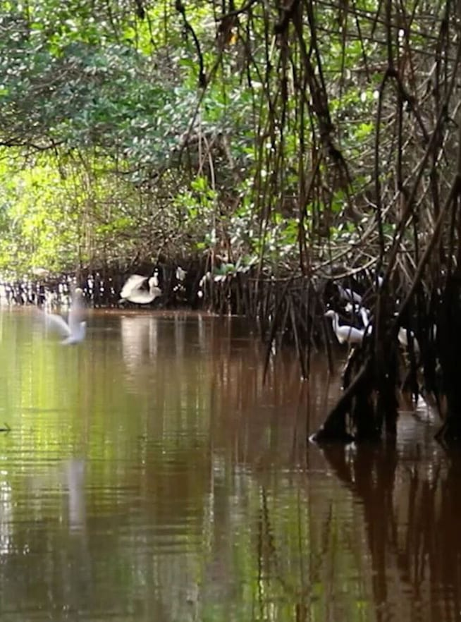 Restoring the Mangroves