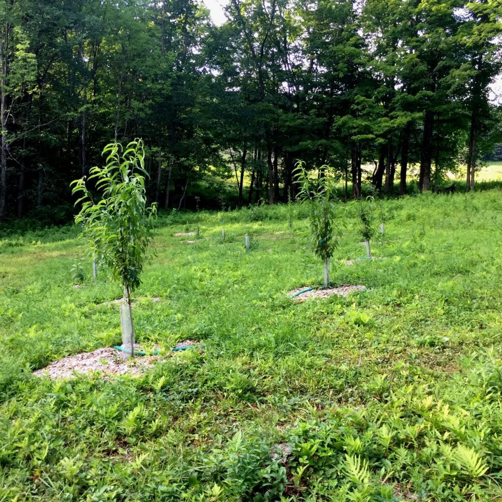 This home orchard planting is completed by providing habitat for beneficial soil microbes and fungus via a hefty hardwood chip mulch and bacterial inoculation.
