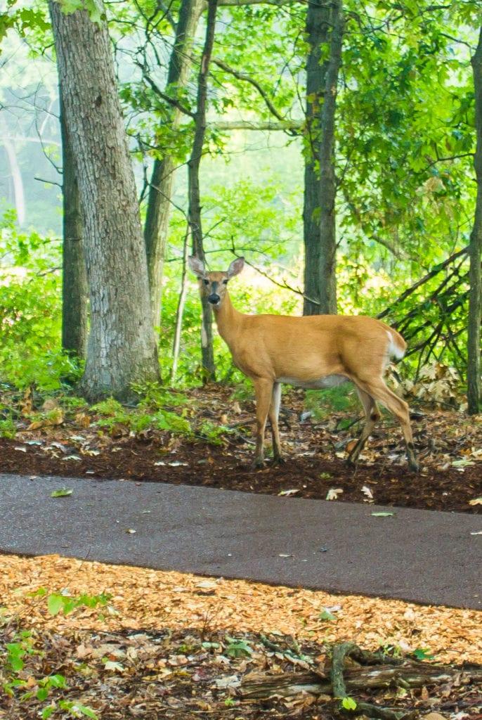 deer-cropped
