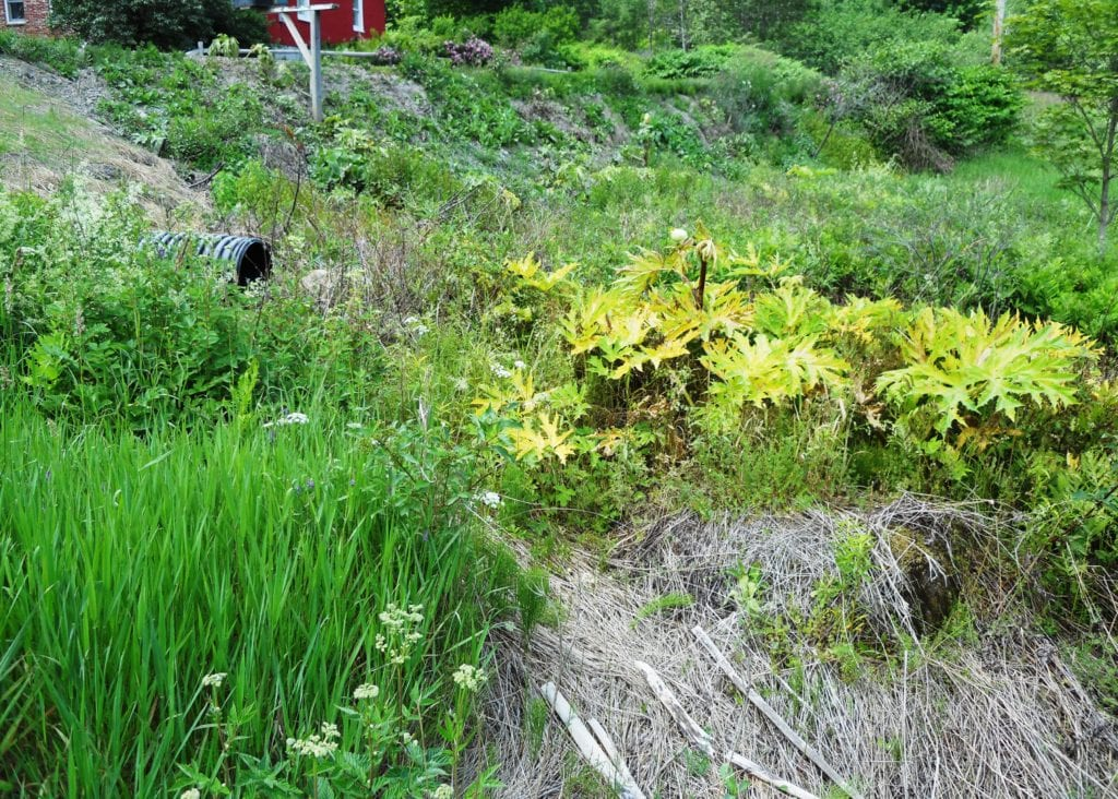 "A roadside giant hogweed infestation in central Vermont; the landowner ""sprayed the bleep out of it."" The culvert might raise serious questions as to water proximity and herbicide usage requirements"