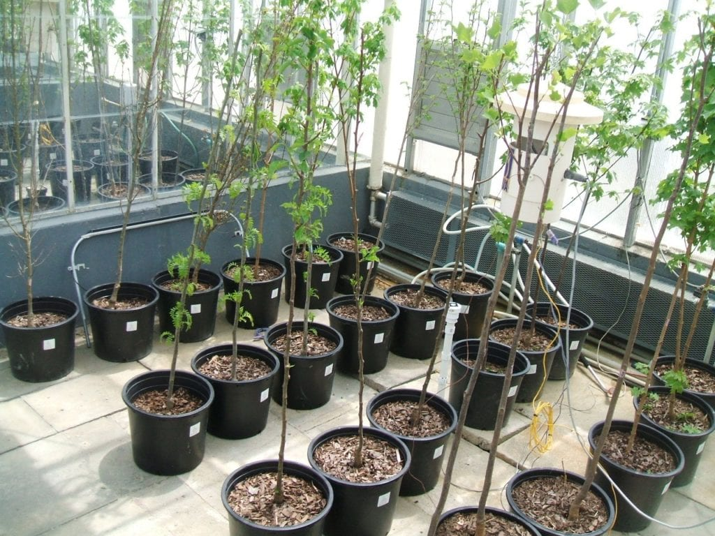 Figure 3. Shade trees acclimating to increased temperatures in MSU research greenhouses.