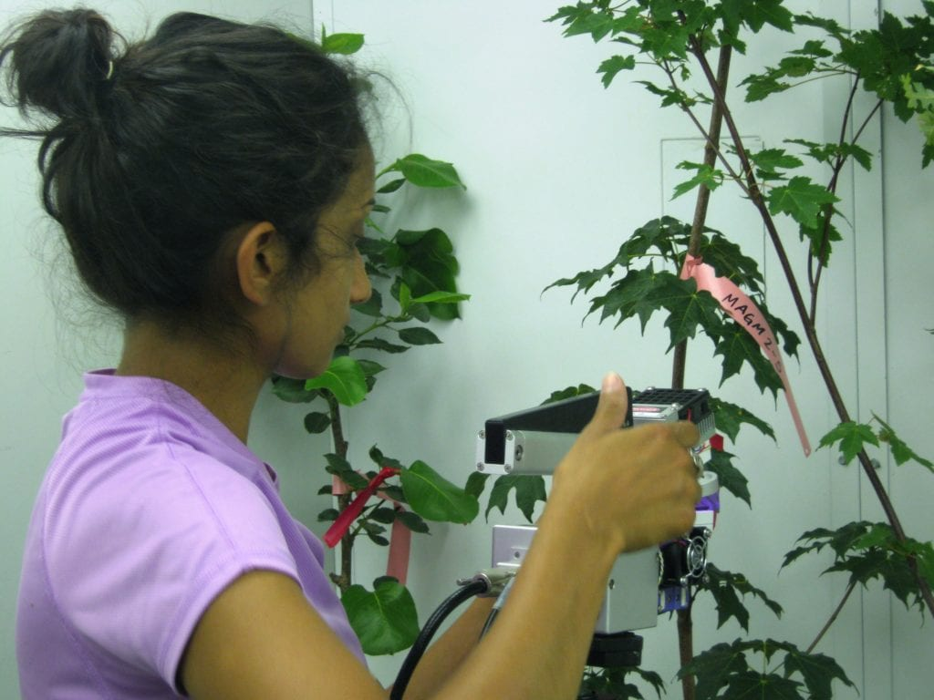 Figure 4. MSU research aide Aiman Shahpurwala measures photosynthesis of shade trees in response to temperature.