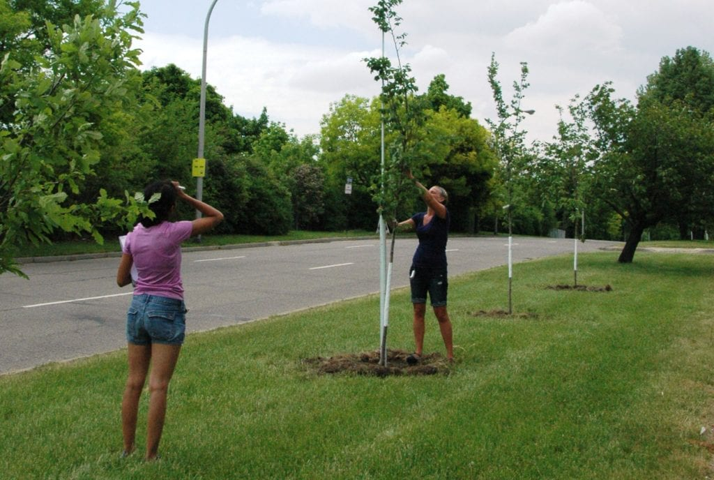 MSU Researchers Aiman Shahpurwala (left) and Dana Ellison (right) assess initial heights of trees along St. Aubin Avenue in Detroit.