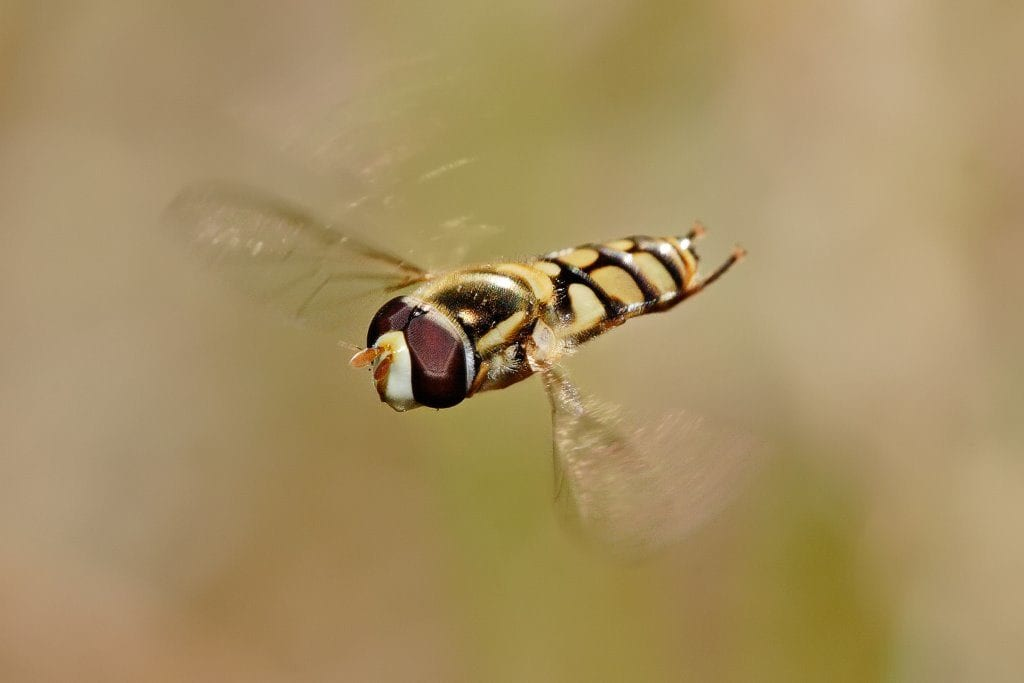 Figure 29. Adult hover fly.