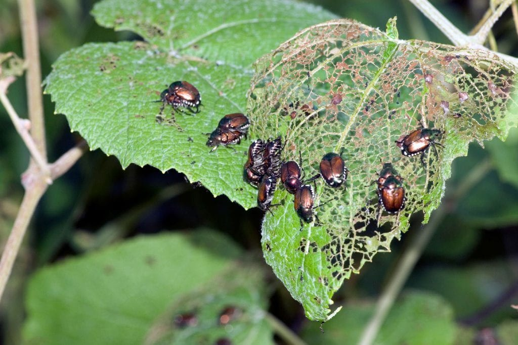9/9/18-9/15/18 Fig-34.-ELA-Fact-Sheet-12-Japanese-Beetles-photo-on-leaf-1024x683