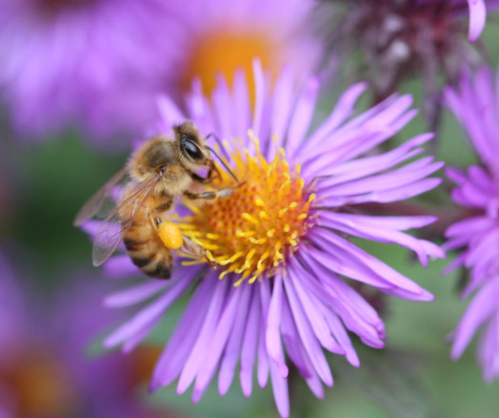A European honeybee feeds on New England Aster.