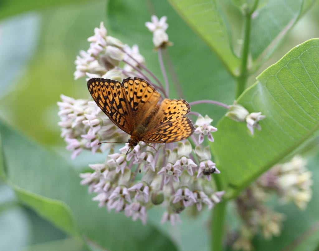 3.Atlantis fritillary (Speyeria atlantis) feeding on milkweed nectar. Common milkweed is a food source for many insects, as well as being a host for monarch larvae.