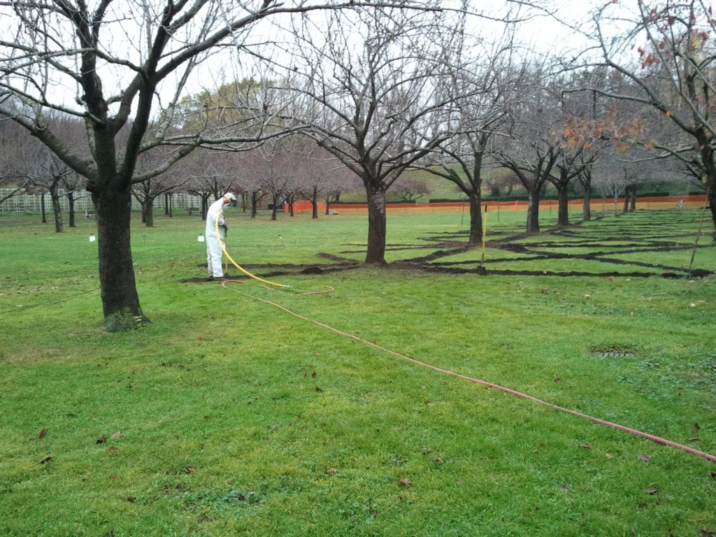 Using an air spade under Kanzan cherry trees relieves intense compaction caused by significant special events.