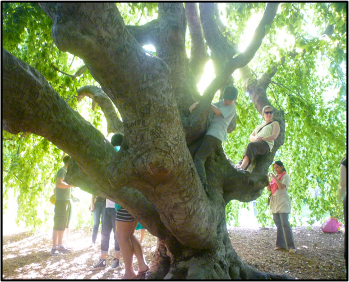 Visitors hang out in a protected 80-year-old Weeping Beech, despite ropes and signage.