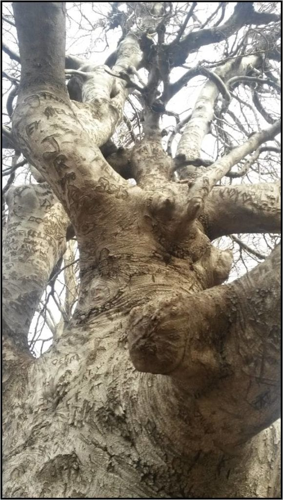Looking up into an 80 year old Weeping Beech, approximately 60 years of carved graffiti rises 25 feet or so.