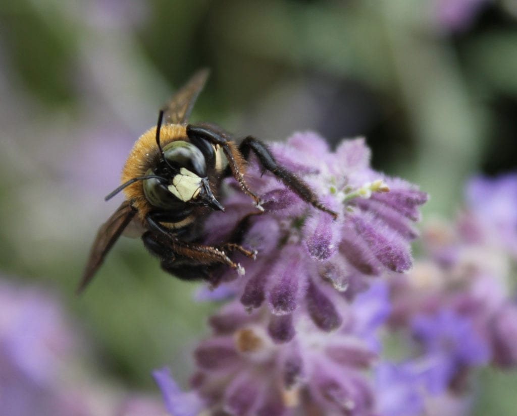 Male carpenter bee on Russian sage. Male carpenter bees have a white patch on their faces and are incapable of stinging.