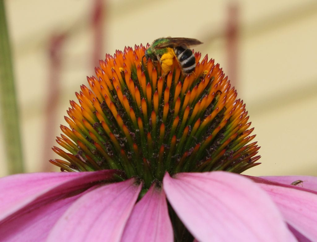 Green sweat bee loaded up with pollen. Sweat bees seemed to have a preference for purple coneflower.