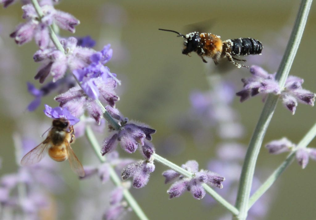 A giant resin bee covered with pollen joins a honeybee feeding on Russian sage.