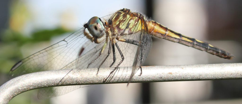 A blue dasher dragonfly perches on a garden trellis. Dragonflies and damselflies are ancient, agile aerial hunters that feed on small insects.