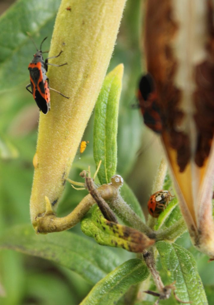 Milkweed bugs and aphids feeding on butterfly milkweed. In the back, a ladybug hunts for aphids.
