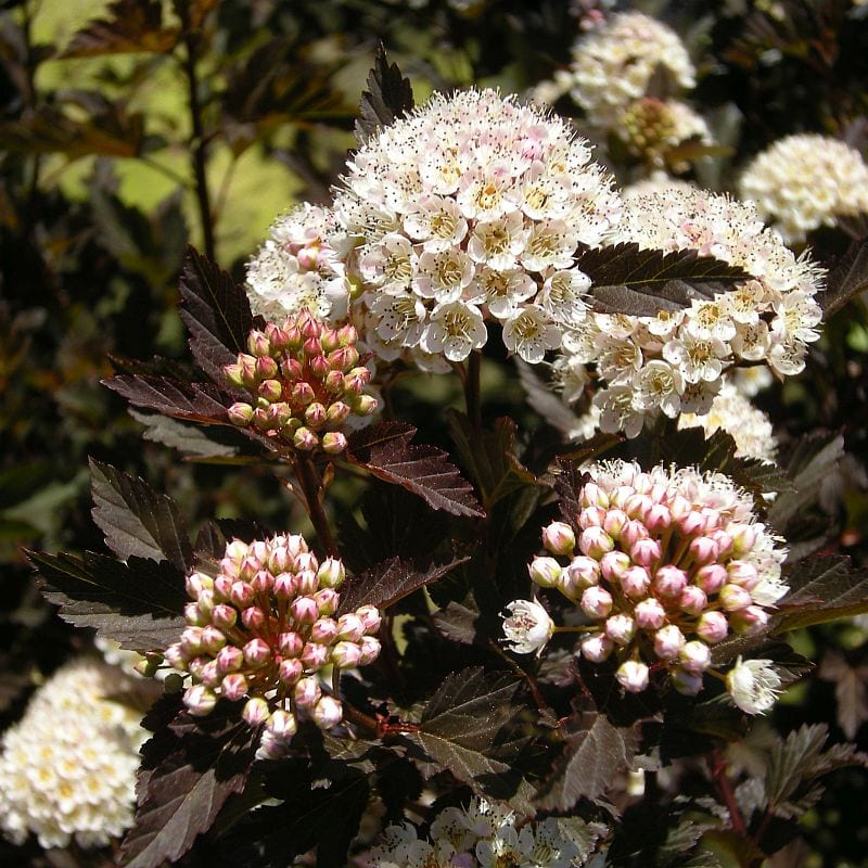 High Impact Native American Shrubs Ecological Landscape