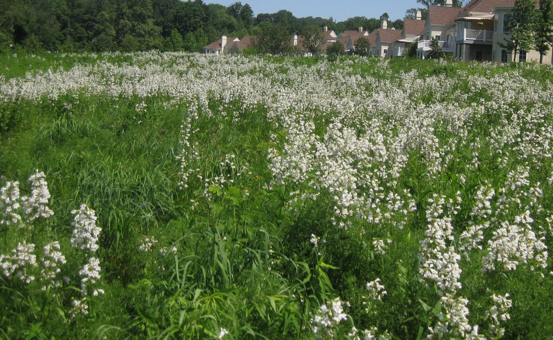 Native grass and wildflower seeding q a with the experts penstemon digitalis tall white beardtongue offers late spring color mark fiely ernst conservation seeds mightylinksfo