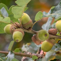 Nutritious acorns are an important food source [in winter] for birds and mammals, including the threatened Western gray squirrel.