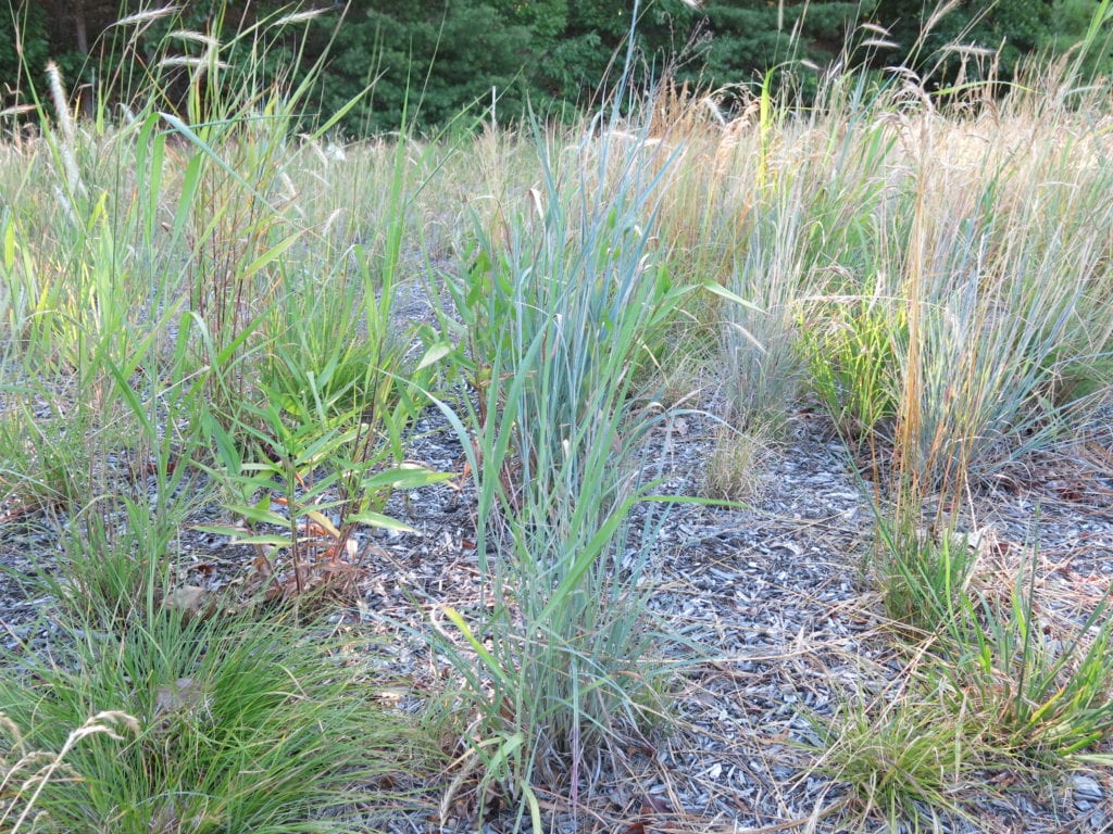 Native grass and wildflower seeding q a with the experts for Wild grass landscaping