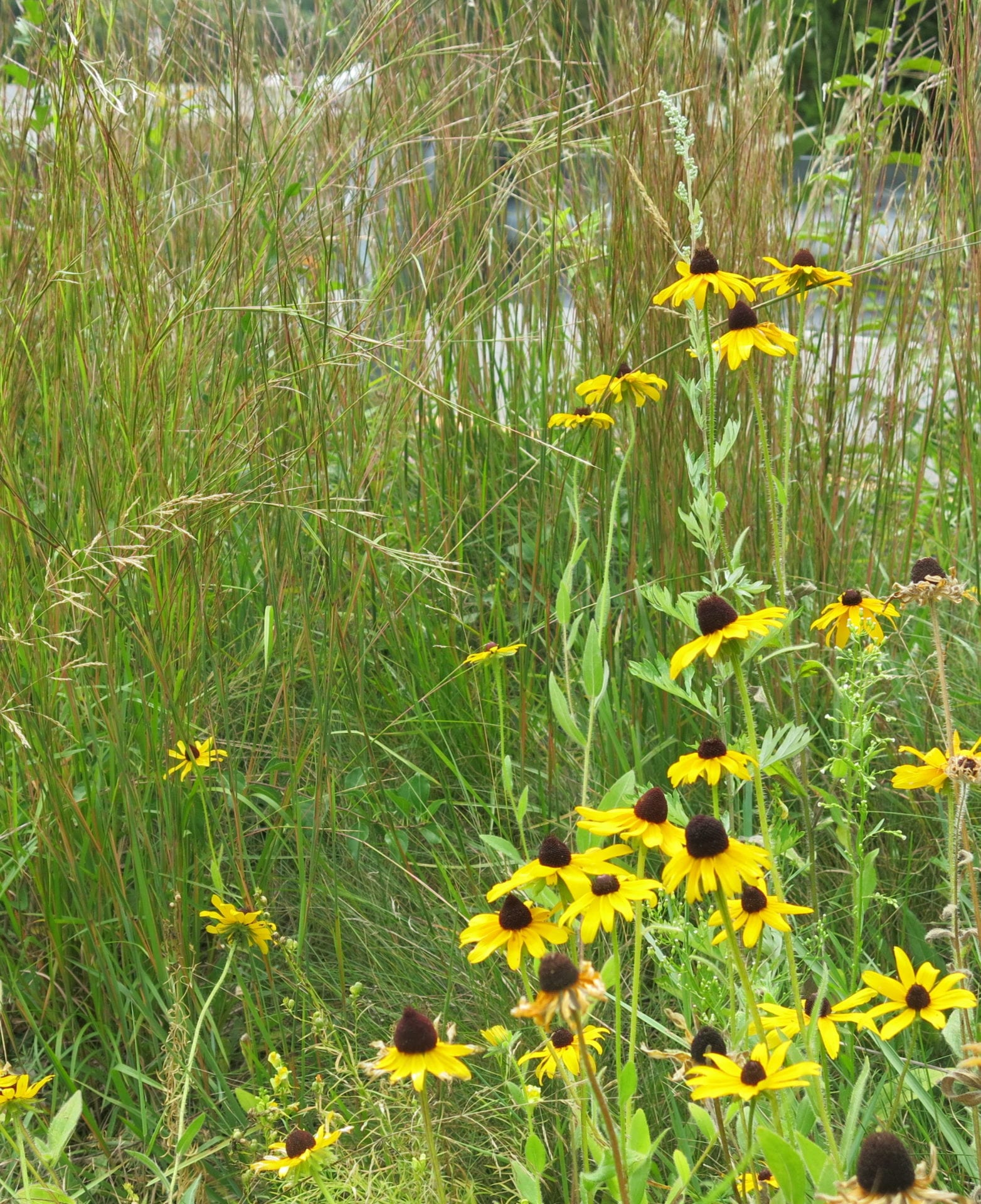 Native grass and wildflower seeding q a with the experts black eyed susan rudbeckia hirta establishes more quickly than most other perennials mightylinksfo